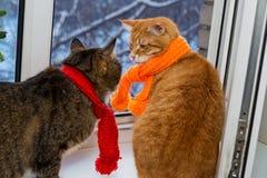 2 striped кот в шарфах Стоковое фото RF