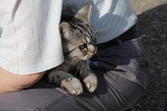 Striped кот на его подоле/ стоковая фотография