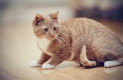 Striped кот, оно красно- белый цвет Стоковая Фотография