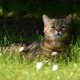 Striped кот - портрет Стоковая Фотография
