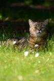 Striped кот - портрет Стоковые Фотографии RF