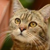 Striped кот - портрет Стоковые Изображения RF