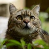 Striped кот - портрет Стоковое Изображение RF