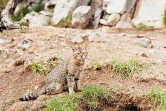Striped кот сидя снаружи на скалистой земле Стоковая Фотография RF