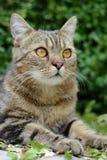 Striped кот Стоковое Изображение RF
