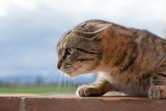 striped кот Стоковые Фото