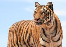 striped красотка стоковая фотография rf