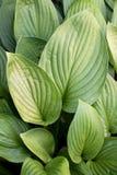 striped листья зеленого цвета Стоковое фото RF
