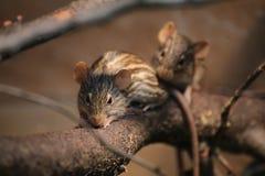 2 striped мыши травы (вид Lemniscomys) на хворостине стоковое изображение