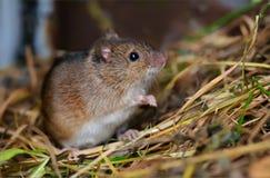 Striped мышь поля сидя в траве сена со славным взглядом стоковые изображения rf