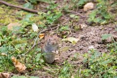Striped мышь поля стоковое изображение rf