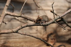 Striped мышь травы (вид Lemniscomys) на хворостине Стоковое фото RF