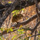 4-striped мышь травы Стоковое Изображение