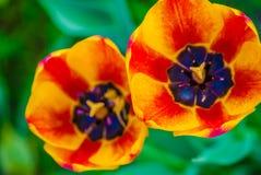2 striped оранжевых тюльпана, макрос Стоковое Изображение RF
