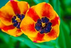 2 striped оранжевых тюльпана, макрос Стоковые Изображения RF