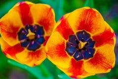 2 striped оранжевых тюльпана, макрос Стоковые Фотографии RF