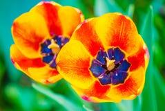 2 striped оранжевых тюльпана, макрос Стоковая Фотография