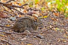 4-Striped подавать мыши травы стоковые фотографии rf