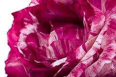 Striped предпосылка closeuo розы пинка Стоковая Фотография RF