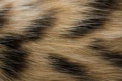 Striped предпосылка меха кота Стоковая Фотография RF