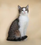 Striped при белый котенок сидя на желтом цвете Стоковое Изображение RF