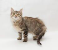 Striped пушистый котенок смотря вверх стоковое изображение