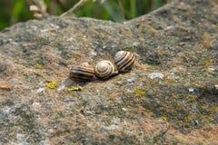 3 striped раковины коричневой улитки на утесе Стоковое Изображение RF