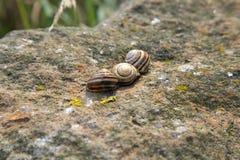 3 striped раковины коричневой улитки на утесе Стоковая Фотография