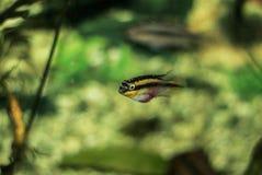 Striped рыбы в аквариуме Стоковое Изображение