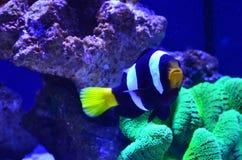 Striped рыбы плавая вокруг водорослей и камней Стоковое Изображение