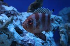 striped рыбы Стоковая Фотография