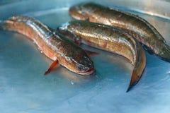 Striped рыбы snakehead, рыбы Стоковое Изображение RF