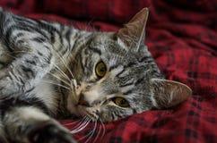 Striped серый кот лежит на половике Стоковое Изображение RF