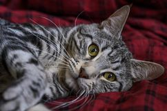 Striped серый кот лежит на половике Стоковые Фотографии RF