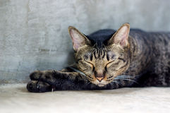 striped серый цвет кота Стоковое Изображение