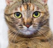 striped серый цвет кота Стоковые Фото