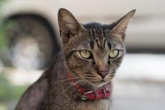 striped серый цвет кота Стоковые Изображения RF