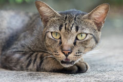 striped серый цвет кота Стоковая Фотография RF