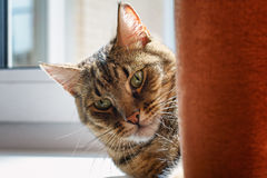 Striped серый цвет при желтый кот лежа на windowsill за занавесом и греясь в солнце Стоковое Изображение RF