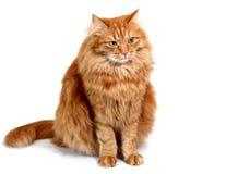 Striped смотреть серого котенка сидя вверх Стоковые Изображения