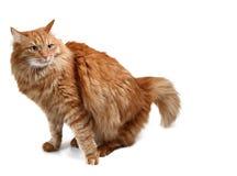 Striped смотреть серого котенка сидя вверх Стоковые Фотографии RF