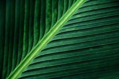 Striped текстура зеленых лист ладони, конспекта лист банана Стоковое Изображение