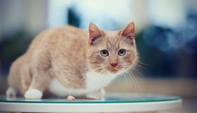 Striped устрашил красный кот на таблице Стоковое фото RF