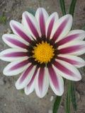 Striped фиолетовый и белый цветок Стоковые Фотографии RF