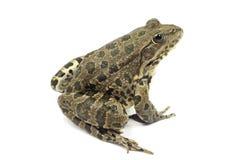 Striped лягушка болота с коричневыми пятнами Стоковое Фото