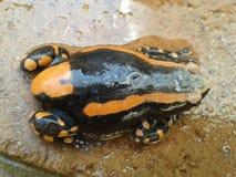 2-striped лягушка Стоковая Фотография