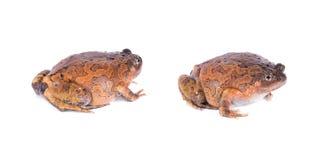 Striped лягушка Spadefoot на белой предпосылке Стоковое Изображение