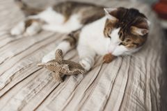A striped adult cat lies on the bed and playing toy mouse. stock images