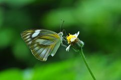 Striped Albatross butterfly. Of thailand background Royalty Free Stock Photography