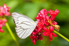 The Striped Albatross butterfly (Appias libythea olferna) eating Stock Photo